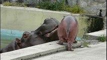 Ce bébé hippopotame ne veut pas aller à l'eau et maman n'est pas contente
