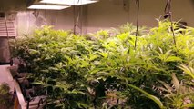 Cannabis Garden Tour Room Tour Week 1 Flower Marijuana Room Tour Flowering Weed