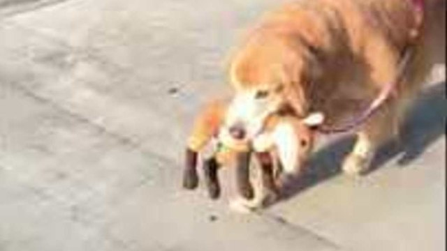 Golden Retriever Never Forgets Her Stuffed Toy When She Goes for Walks