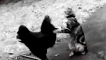 Cat and Chicken Duel