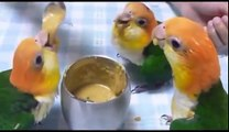 Parrot videos - parrots dancing - a funny parrot videos compilation    new hd