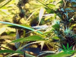 The Magic Weed History Of Marijuana
