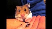Cute and Adorable Hamster Tricks   Climbing Stairs, Peeling & Eating Sunflower seeds, Dribble Ball