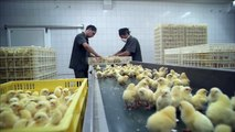 Factory-farmed chickens live short, sad lives | H.O.P.E. The Project