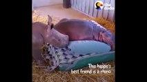 Un bébé rhinocéros et un bébé hippopotame sont meilleurs amis... Adorable