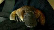 The Platypus Whisperer