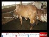 Vidiyal puthusu : Farmer Sridhar about hybrid cattle and its benefits -  10/07/17