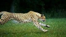 Cheetah Full Speed, Slow Motion, HD Camera
