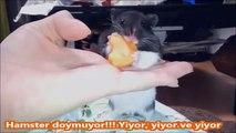 Hamster doymuyor!!! Yiyor, Yiyor ve Yiyor