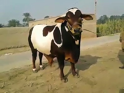 Biggest & Beautiful bull for upcoming 2K18 bakraeid….