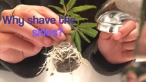 How to take Cannabis Clones  Easy and cheap  way to take weed cuttings Proper Marijuana Cloning