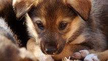 Training Husky Puppies to Become Sled Dogs