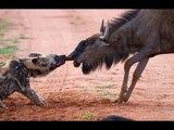 Mamãe gnu lutando para salvar seu filhote dos cães selvagens- gnus vs cães selvagens