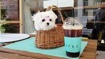 So tiny size maltese puppy Cutest puppies video - Teacup puppies KimsKennelUS