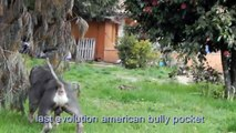 last evolution bullies top american bully pocket
