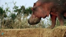 Omg! Hippo swallow Elephant Baby, Elephants save Baby from Hippo - Will Elephants get rescued?
