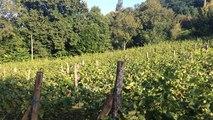 Les Vignobles des coteaux fléchois se préparent pour les vendanges