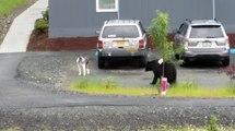 Un ours brun chasse un pauvre chien