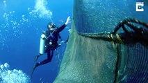 Un plongeur vient sauver une baleine piégée dans un filet de peche