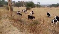 Peekpani   Amravati   Cattle Farming Of Desi Cows And Products