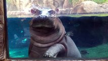 Cincinnati Zoo's Fiona the Baby Hippo