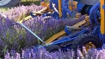 Alpes de Haute-Provence : A Redortiers, les producteurs de lavandes tiennent à sauver les abeilles
