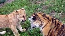 Quand un bébé lion et un bébé tigre jouent ensemble... Adorable