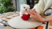 mini maltese videos so lovely puppy!! my heart!!!- Teacup puppies KimsKennelUS