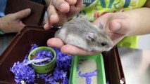 A dwarf hamster has armpit tumour and right ear ear wart