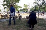 Des moutons au pied des tours de Seine-Saint-Denis
