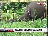 Seekor Gajah Sumatera Ditemukan Mati di Kebun Warga