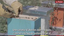 Les abeilles sauvages : des pollinisatrices essentielles