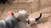 chaton joue avec peluche kirkhammett ***   kitten playing with peluche