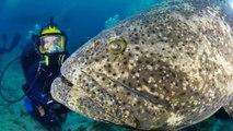 Ce plongeur nage avec un mérou Goliath Grouper géant et le caresse