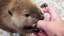 Trop mignon ce castor supplie pour manger !