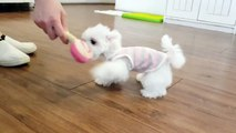 Maltese running videos so cute!!! - Teacup puppies KimsKennelUS