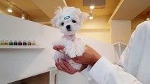 Teacup maltese mini maltese - Teacup puppies KimsKennelUS
