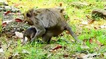 Bad Mother Monkey Sasah Mistreat Her Baby Monkey  Jesie,Mix Animal