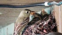 Trop mignon : ces moineaux sont nourris par leur mère au bec dans le nid !