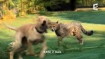 Un guépard ami avec un chien ! ZAPPING SAUVAGE