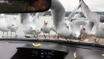 Jetez des chips aux mouettes à travers le pare brise de la voiture pour les rendre fou !