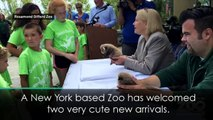 Super cute twin red pandas born in New York
