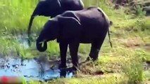 All About Elephants - Mother Elephant Defends Her Baby From Two Hippo _ Elephants rescue Elephants from Animal Attack