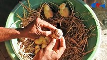 Hen Harvesting Eggs to Chicks Chicken country eggs to born new chicks # Fish Cutting