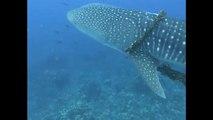 Mergulho em família transforma-se em missão de salvamento de um tubarão-baleia
