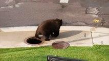 Bloqué dans une bouche d'égout, cet ours s'en est sorti tout seul (ou presque)!
