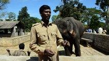Un camp de rééducation pour les éléphants tueurs d'Inde