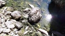 Poissons morts dans le Doubs entre Morteau et Pontarlier