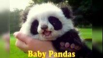 Baby Pandas  Cute and Funny Baby Panda Videos Compilation (2018)