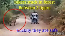 Biker stuck in forest  between 2 tigers,luckily 3 man save the bikers without  any harm